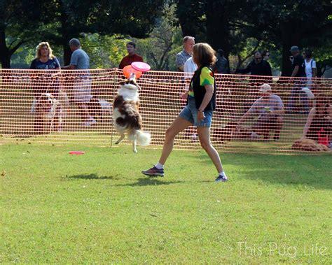 st louis pug rescue strut your mutt st louis 2014 this pug