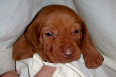 vizsla puppies oregon so on