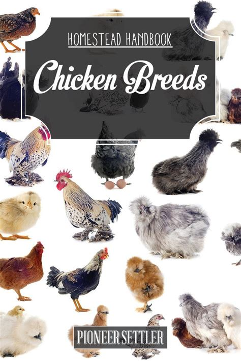 raising meat chickens your backyard best 25 chicken breeds for eggs ideas on pinterest diy