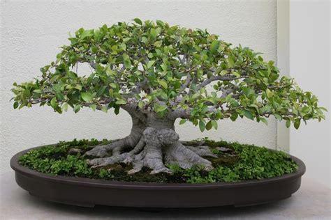 Arrosage Ficus Ginseng by Bonsai Ficus Ginseng Retusa Benjamina Microcarpa