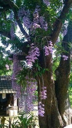 Dendrobium Anosmum Alba Limited Phalaenopsis Tree Mounted Orchids