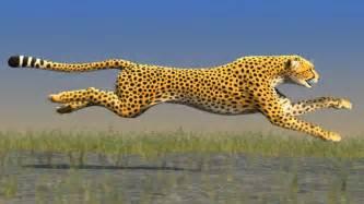How Fast Can A Jaguar Run Pics For Gt A Cheetah Running Speed