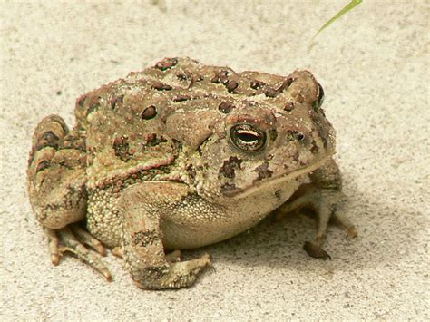 file tiny frog in hand jpg wikimedia commons file fowlers toad frog jpg wikimedia commons