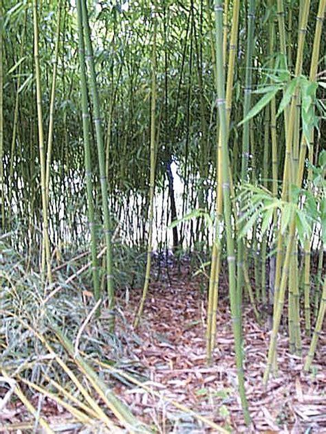 les bambous des clouzeaux