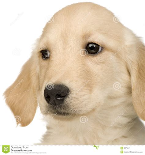 3 month golden retriever puppy golden retriever 3 months stock image image 6075041