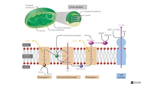 cross section of chloroplast 16 4 photosynthesis introduction to life science