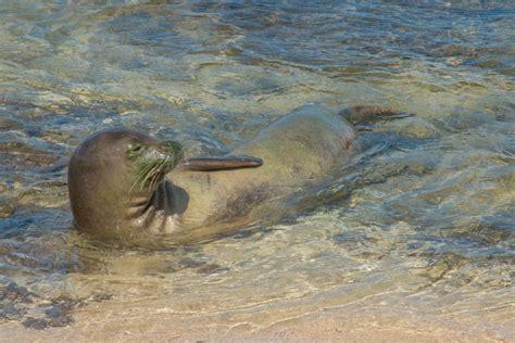 Vacation Home Kauai - the hawaiian monk seal living on the brink