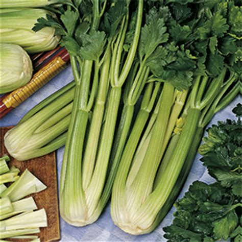 sedano verde sedano verde darklet f1 acquistare trapiantare e coltivare