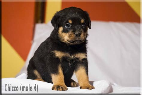 taking care of rottweiler puppies rottweiler puppies for sale by german rottweiler breeder vom bullenfeld