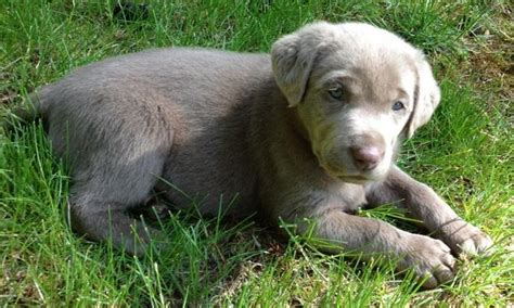 puppies tacoma gallery of puppy labrador retrievers tacoma lakewood spanaway washington state