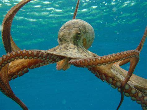 octopus l poulpe pieuvre tout savoir sur cet animal facinant