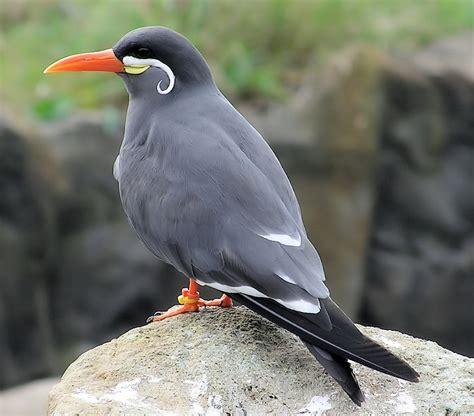 byrd tern free photo inca tern tern bird zoo free image on