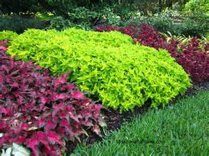 Bright Green Foliage Plants - image gallery lime green plants