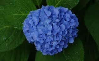 blue hydrangea wallpaper 1102821