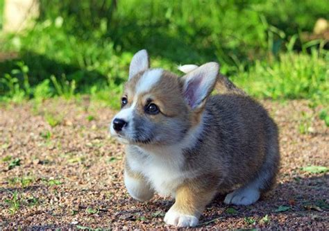 how much do corgi puppies cost corgi price range how much do corgis cost where to buy a corgi puppy