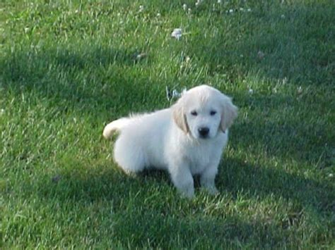 golden retriever puppies wa montgomery golden retriever puppy washington d c 108