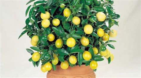 coltivare limone in vaso coltivare limoni in vaso garden4us