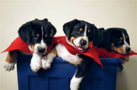 greater swiss mountain rescue home of greater swiss mountain dogs and keep fiendly