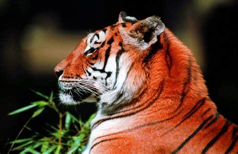 imagenes sorprendentes de tigres fondo de imagen cabeza tigre