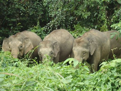 Tiga Gajah Putih perhilitan kenal pasti tiga daerah tumpuan gajah di