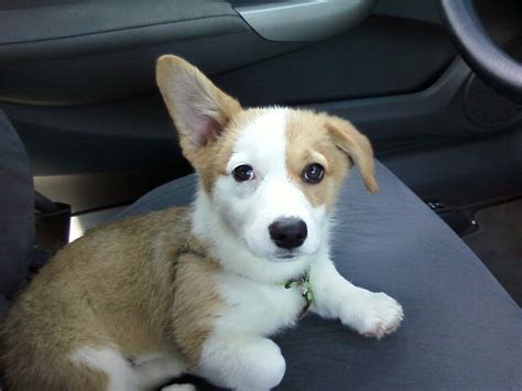 corgi dogs corgi puppies photograph corgi puppy photo