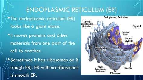 rough definition of rough by the free dictionary history types of cells organelles ppt video online