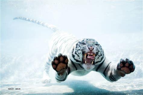 white tiger animals photos