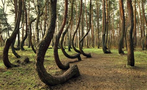 poland s cool crooked forest the coolest places on earth the crooked forest poland