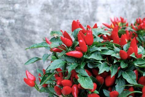 pianta di peperoncino in vaso orto in vaso 5 consigli per coltivare il peperoncino