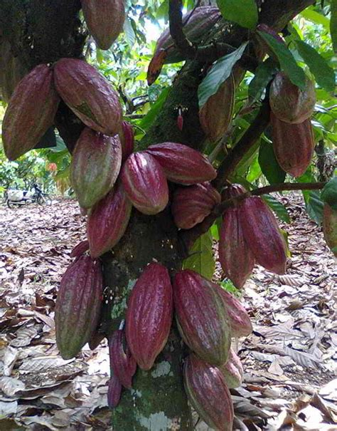 tahap  panduan lengkap budidaya  menanam kakao