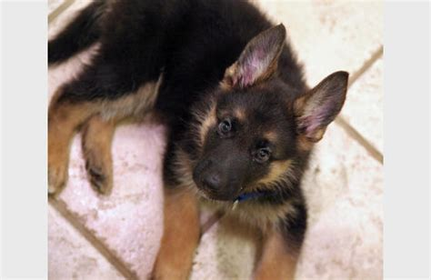 adorable german shepherd puppy german shepherd puppy puppy