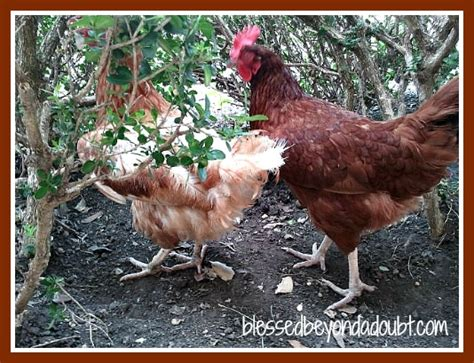raise chicken in backyard raising chickens in your backyard top 10 reasons