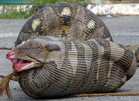 Orángel Guillén y Algunas Interesantes Serpientes.