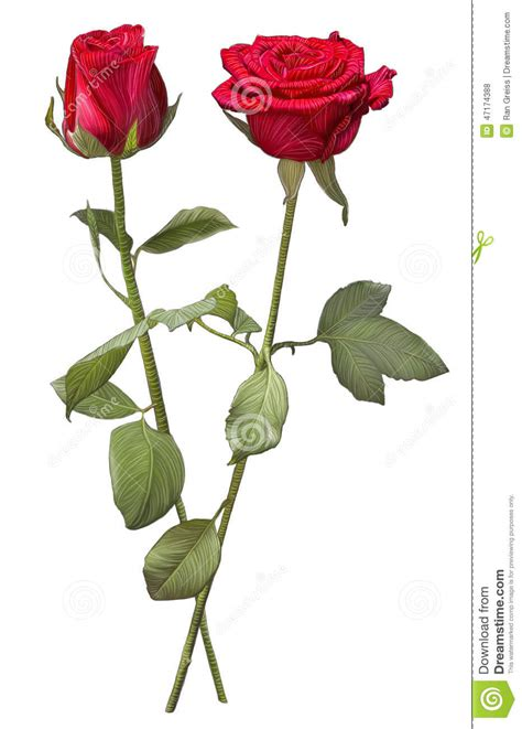 drawing of two red rose flowers stock illustration
