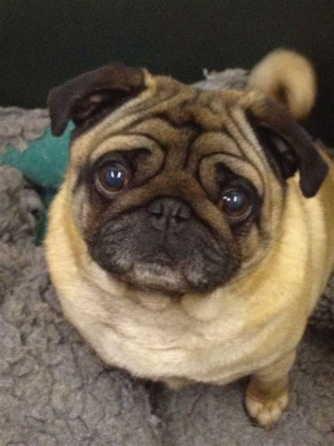 apricot pug for sale k c registered apricot pug for stud doncaster south pets4homes