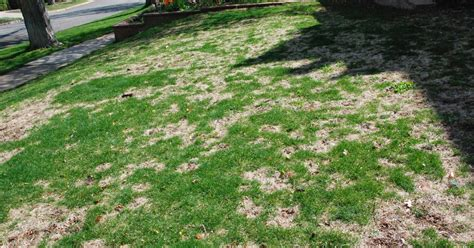 co horts does snow cover cause snow mold in lawns yes