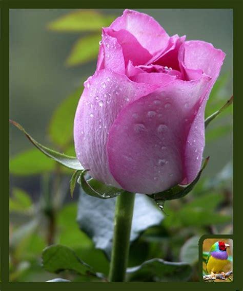 image gallery las rosas mas lindas imagenes de rosas mas hermosas del mundo para regalar