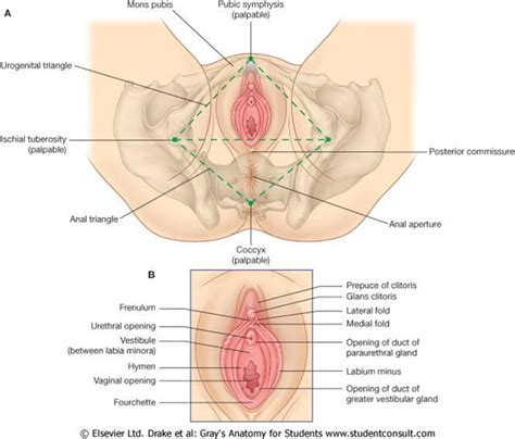 diagram of perineum perineal anatomy diagram perineal free engine