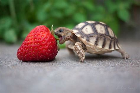 Baby turtle eats strawberry   Teh Cute