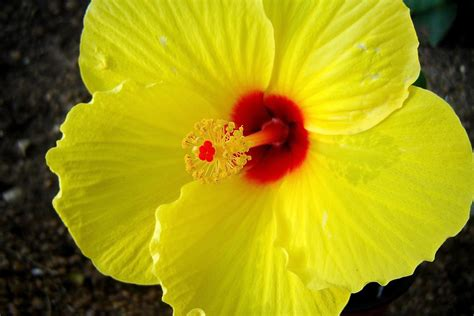 which state has a hibiscus yellow hibiscus andreanna moya photography flickr