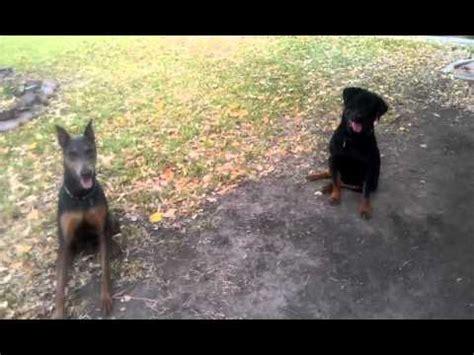 doberman or rottweiler dobermann pinscher breed funnydog tv