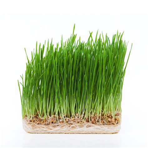 Garden Of Wheatgrass Garden Of Wheatgrass 28 Images Grow Your Own