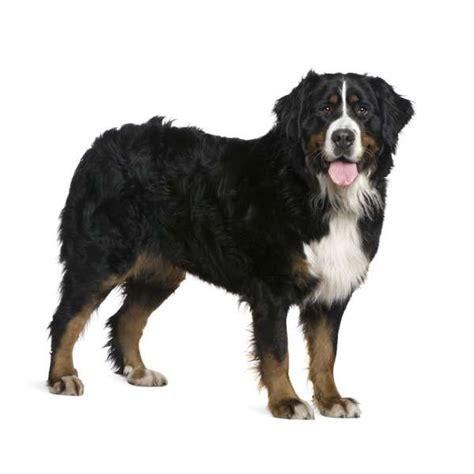 bovaro bernese alimentazione bovaro bernese scheda razza su cani it