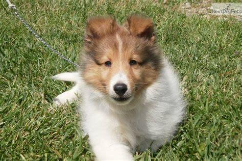 sheltie puppies for sale in iowa shetland sheepdog sheltie puppy for sale near des moines iowa 4ae7d27c da11