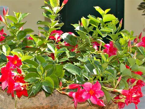 dipladenia fiore dipladenia mandevilla guida alla coltivazione con sucesso