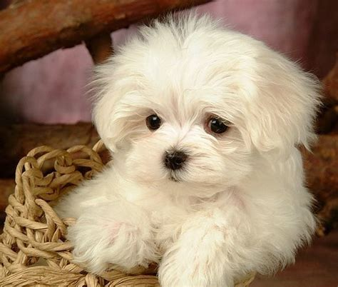 shelter puppies for sale maltese puppies for sale what do you need to about the maltese pups maltipoo