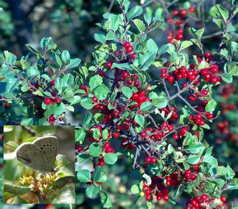 Plants With Red Foliage - rhamnus crocea ilicifolia hollyleaf redberry