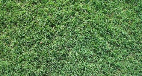 Santa Grass by Santa Bermudagrass High Traffic Commercial