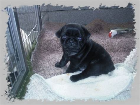 pug puppies wiki file pug puppies black mops welpen schwarz jpg wikimedia commons