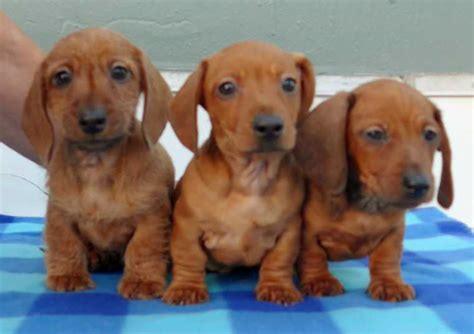 miniature dachshund puppies for sale in california akc chion mini dachshund puppies guaranteed top quality bloodlines for sale
